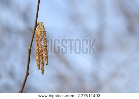 Male Catkins Of Hazel (corylus Avellana) Against A Blue Sky Background With Copy Space, Pollen Is Hi