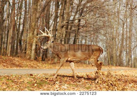 Buck 6