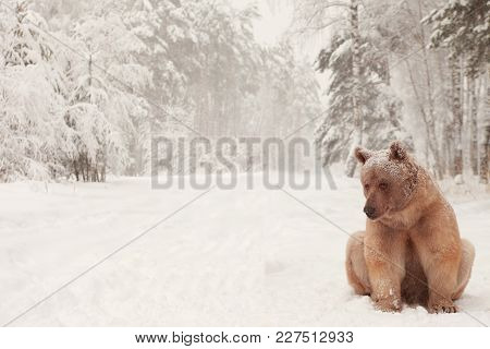 European Brown Bear In A Winter Forest.