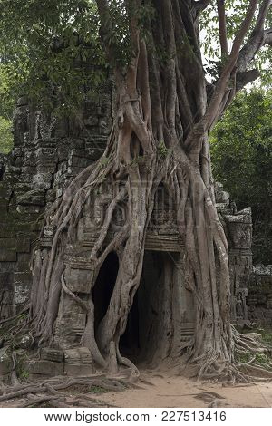 Tree Growing On The Walls Of The Ruins Of An Angkor Temple In Cambodia
