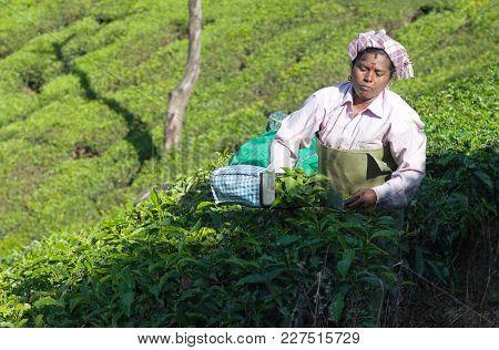 Munnar, India - January 18, 2016: Female Tea Picker Working In Tea Plantation In Munnar, Kerala, Sou