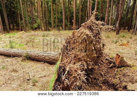 Uprooted Tree In The Forest After A Big Storm