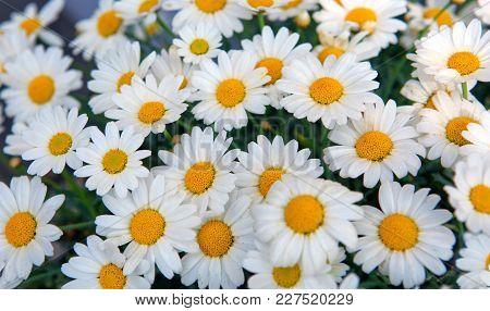 Daisy Flowers Background. Macro Of Beautiful White Daisies Flowers.