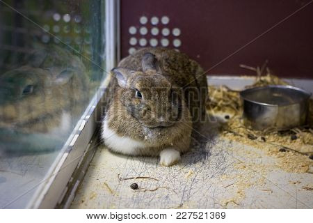 Large Gray Rabbit Lies On The Sawdust In The Cage