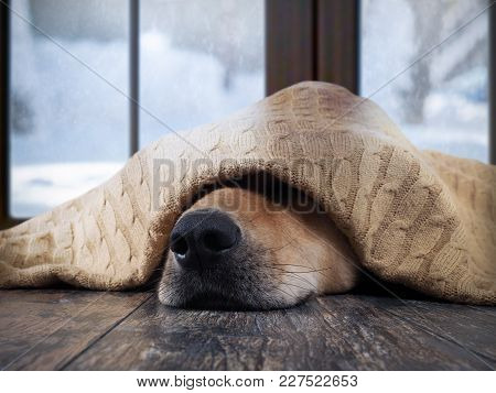 The Dog Freezes. Funny Dog Wrapped In A Warm Blanket. Outside The Window Snow, Winter