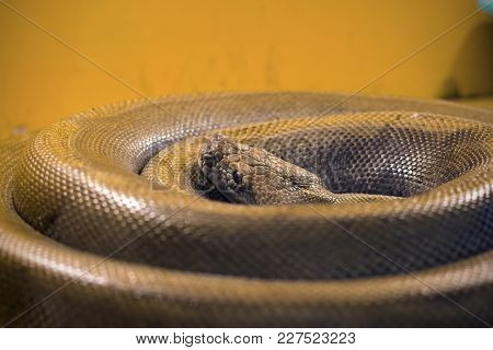 A Large Gray Snake Curled Into A Ring