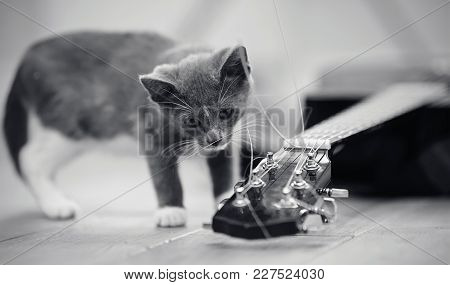 Not The Color Image Of A Gray Curious Kitten And The Guitar Lying On A Floor.