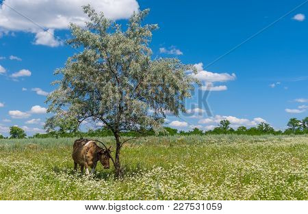 Summer Landscape With Cow Hiding Under Shadow Of Lonely Silverberry Tree Located On Meadow Overgrown