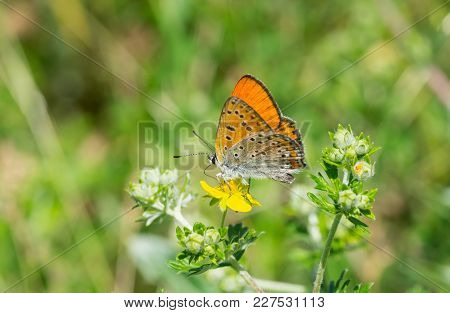 Lonely Common Blue (polyommatus Icarus) Butterfly On A Wild Flower At Summer Season