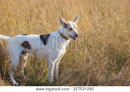 Portrait Of White Cross-breed Dog With Dirty Snout Posing In Meadow While Hunting On A Fox