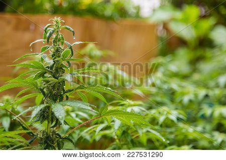 Female Cannabis Plant, Marijuana Leaf With Rain Water On It