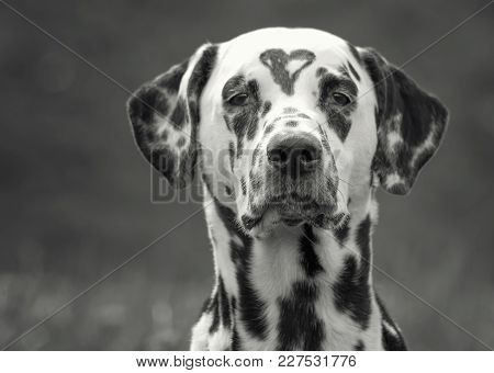 Dalmatian Dog With A Spot In The Form Of Heart On The Head. Conceptual Image Of Friendship, Trust, L