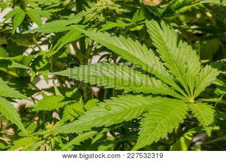 Macro Close Up Of A Cannabis Leaf, Marijuana Leaf