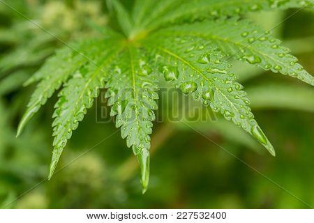 Macro Close Up Of A Cannabis Leaf, Marijuana Leaf With Rain Water On It
