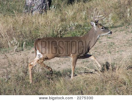 Shot of a white-tailed buck chasing after a doe. Taken in Texas poster