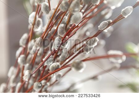 Willow Fur-trees In Sunlight In Blur, Close-up, In Retro Style