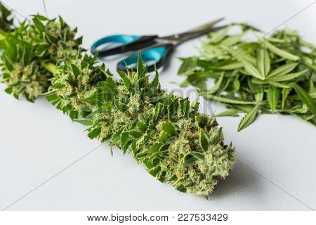 Macro Close Up Of Freshly Trimmed Cannabis Leaves During Harvest, Large Female Marijuana Bud
