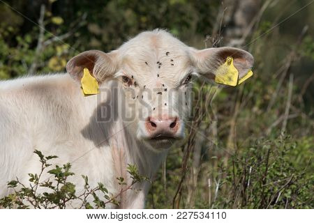 Very Young Bull Calf With Yellow Tags In His Ears. Eating In The Bushes With Lot Of Flies Disturbing
