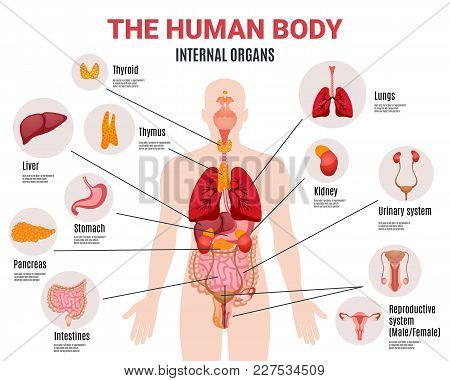 Human Body Internal Organs Schema Flat Infographic Poster With Icons Images Names Location And Defin