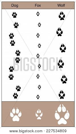 Dog, Fox And Wolf Tracks By Comparison. Similar Looking Trails Of Canids - Isolated Vector Illustrat