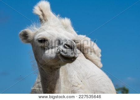 Closeup Low Angle Front View Of A Female White Camel With Large Humps Against A Clear Blue Sky Backg