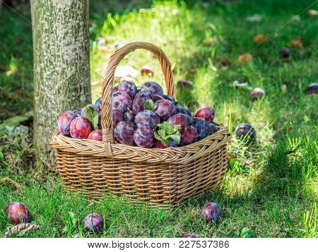 Plum harvest. Plums in the basket on the green grass.
