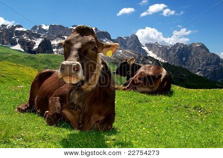 Lying cow pasture behind the mountain Brenta- Dolomites Italy poster