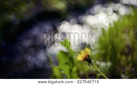 Blurry Landscape With Wild Yellow Flower Of Dandelion Against The Background Of A Stream.