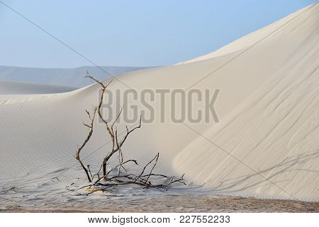 Big White Sand Dunes At Aomak Beach At Sunset, Socotra Island, Yemen. Dead Plant Between White Sand