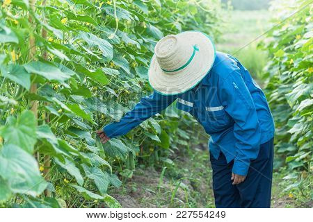 Asian Women Inspection And Quality Checking Organic Cucumber Vegetable In Plant, Quality Control, In