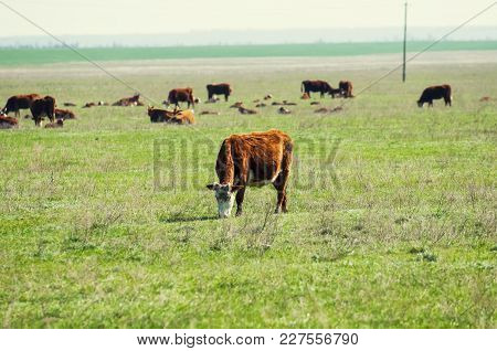 Cattle,colloquially Cows,are The Most Common Type Of Large Domesticated Ungulates. They Are A Promin