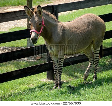 Zonkey Named For Donkey And Zebra Mix At Wildlife Reserve