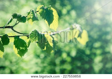 Young Spring Leaves On Branch In Spring - Nature Begins To Wake Up