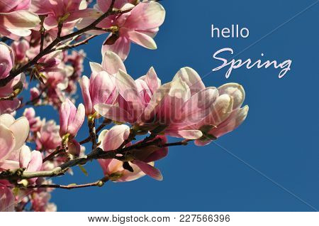 Blooming spring flower pink magnolia against a clear blue sky and a message Hello spring sign letter