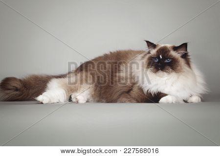 Fluffy Beautiful White Cat Ragdoll With Blue Eyes Posing Lying On Studio Gray Background.