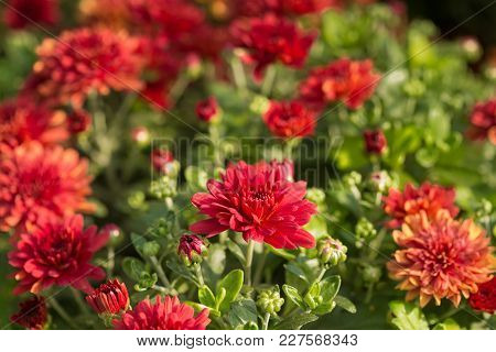 Chrysanthemum, A Lot Of Red Flowers In The Open Air, Selective Sharpness, Close-up