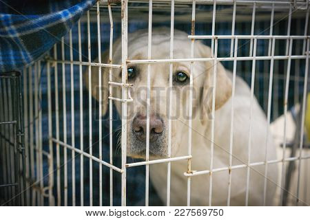 Portrait Of A Sad Dog Labrador In An Iron Cage