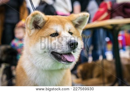 Portrait Of A Close Up Of Japanese Akita At An Exhibition Of Dogs