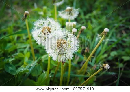 White Dandelions Among The Green Grass, A Fine Spring Day