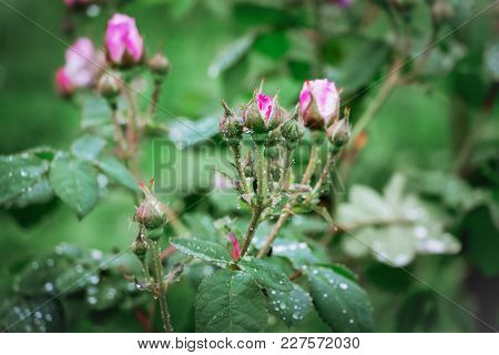 Bush With Buds Of Roses, Drops Of Dew Or Rain On A Plant
