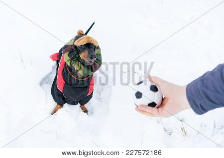 Dog, Dachshund, Black And Tan, In Clothes (sweater) And Hat, Playing And Barking On A Snowy Meadow