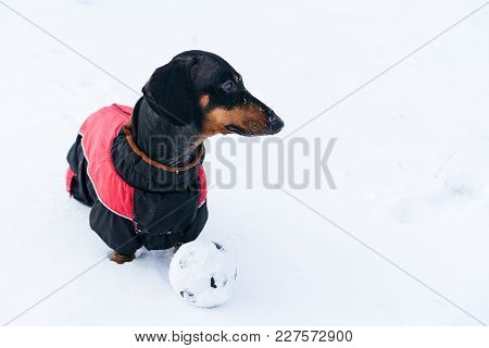 Dog (puppy), Breed Dachshund Black Tan,in Clothes Playing With A Ball On  The Snow