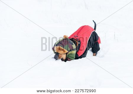 Cute Dog (puppy), Breed Dachshund Black Tan,in Clothes In A Hat Playing With A Ball On  The Snow, Di
