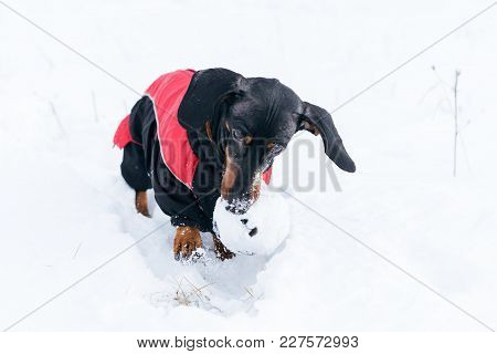 Cute Dog (puppy), Breed Dachshund Black Tan,in Clothes Playing With A Ball On  The Snow