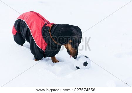 Beautiful Dog Of The Breed Of Dachshund, Black And Tan, In A Red Sweater Playing With A Ball On A Sn