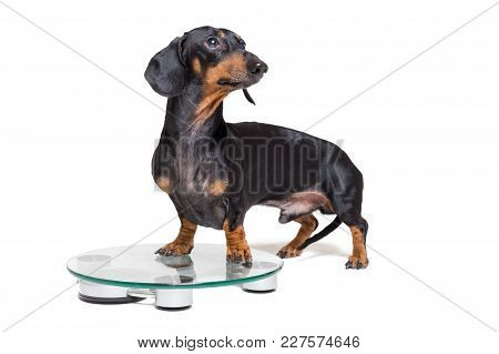 Dog Dachshund, Black Adn Tan, On A Scales, Isolated On White Background