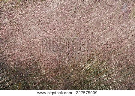 Hairawn Muhly (muhlenbergia Capillaris). Called Gulf Muhly Also