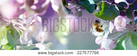 Bee On A White Flower On A Tree. Bee Picking Pollen From Apple Flower.bee On Apple Blossom.