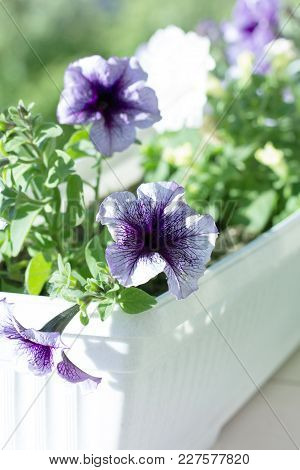 Purple Petunia Flowers In A Pot On The Window.petunias Decorating Window.