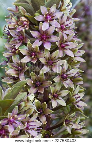 Pineapple Lily Flower